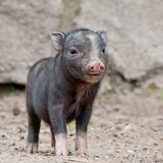 Tiergarten Delitzsch has a new mud-loving favorite: a fist-sized Pot-bellied Piglet. Born in late May,the week-old piglet has been ransacking mud puddles to its heart's content alongside its parents. See more photos at ZooBorns: http://www.zooborns.com/zooborns/2013/06/pot-bellied-pig.html