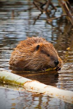 After 2 weeks of milk Beaver pups start a lifetime of eating wood.