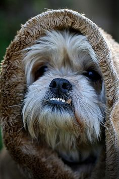 My Shih Tzu dressed as an Ewok