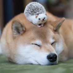 Two awesome animals shiba inu and hedgehog Cute Funny Animals, Cute Baby Animals, Animals And Pets, Cute Puppies, Cute Dogs, Dogs And Puppies, Corgi Puppies, Chien Shiba Inu, Japanese Dogs