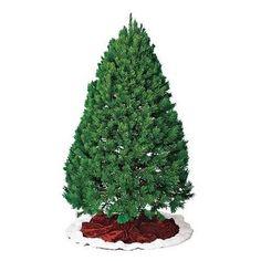 scotch pine types of christmas trees pine christmas tree pine tree southern living - Best Christmas Tree Type