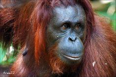 "Orangutan ""Delima"" - Up close | Flickr - Photo Sharing!"