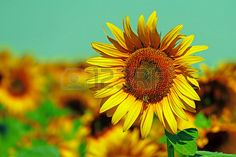 Picture of Vintage look at sunflower in a field under sky. stock photo, images and stock photography. Vintage Looks, Sky, Stock Photos, Plants, Photography, Heaven, Photograph, Heavens, Fotografie