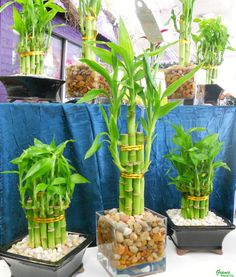 "Lucky Bamboo comes as single stalks (straight or spiraled), tiered ""cakes"", woven lattices, and more shapes. It can be grown in soil, but the classic look is simply water + rocks or marbles. Change the water weekly."