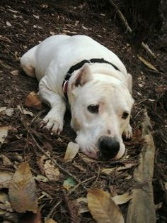 Dogo Argentino are hunting dogs but are banned in many countries.