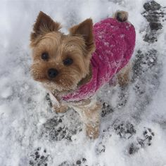 #Repost @gizmootheyorkie  Happy Sunday friends! This is after I played in the snow that was deeper than me... hehe it was a lot of fun... but I was cold after