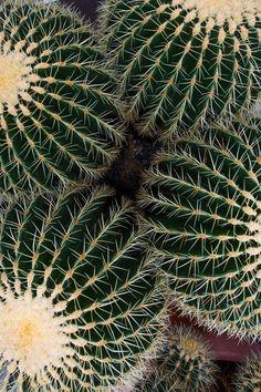 Cacti And Succulents, Cactus Plants, Plant Design, Garden Design, Cactus E Suculentas, Plant Wallpaper, Plants Are Friends, Drought Tolerant Plants, Bright Flowers