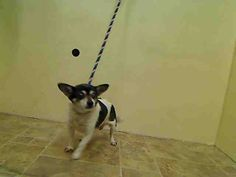 SAFE 4/19/2015 by Red Hook Dog Rescue --- SUPER URGENT PEBBLES – A1033313  FEMALE, WHITE / BLACK, CHIHUAHUA SH MIX, 14 yrs OWNER SUR – EVALUATE, NO HOLD Reason MOVE2PRIVA Intake condition GERIATRIC Intake Date 04/15/2015