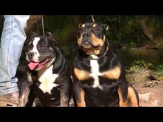 American Bully IPC International Pedigree