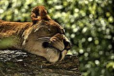 ...The Lion sleep tonight