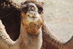 Camello sin complejos.
