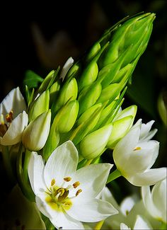 Ornithogalum thyrsoides (chicherinchee - that name cracks me up!!!)