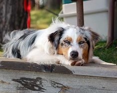The Aussie Weekly #160 — The Weekly Special Feature for Australian Shepherd Lovers — Photo: Brooke Strain, Aussie: Mia