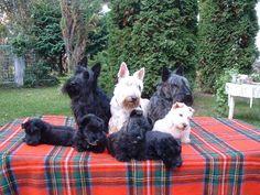 Scottish Terriers c#yuki #yukituristainsolita #dog #scottishterrier #wheatscottie #cachorro  #pet #pets #petsofinstagram #petsgram #instapuppy #cute #instacute #instapet #puppylove #puppygram #scotties #terrier #scottishterriersofinstagram #puppiesofinstagram #scottieobsessed #scottiegram #scottishterribles