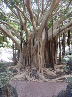 Jardin Canario, Las Palmas de Gran Canaria Picture: Bizarre looking trees - Check out TripAdvisor members' 12,067 candid photos and videos.