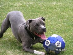 Order your indestructible Goughnut toy for your pit bull on Amazon! Click on the image!