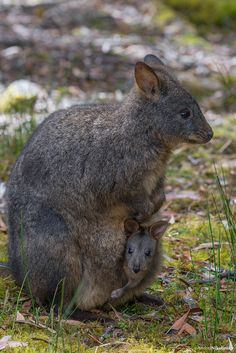 pademelon pet - photo #11