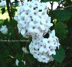 Mom's stephanotis or Madagascan Jasmine is a beautifully fragrant flower...