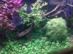 Planted display aquarium www.fishkeeper.co.uk  #AquariumPlants