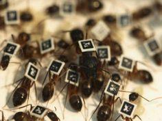 Chips em formigas ajudam a descobrir divisão de funções