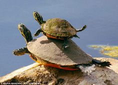 Yoga turtles lol