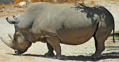 Four Incredible Species We've Lost To Extinction, Plus 2 Critically Endangered Animals We Could Still Save Northern White Rhinoceros, Film Rio, Gulf Of California, Vulnerable Species, Wild Animal Park, Female Of The Species, Habitat Destruction, Extinct Animals, San Diego Zoo
