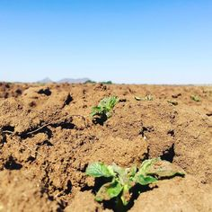 Well hello there little potato plant.  Grow up Be strong Transform Fulfill your purpose  #FarmLife #Potato #MrPotato #PlaasIsBaas #Al3Boerdery #TinyPlant #life #food #Boerdery #boer #plaaslewe #plaas #suidafrikaans #green Shop Now for one of a kind handmade clothing. Matching Mommy Me Outfits