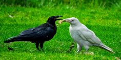 White Wolf : 10 pictures of the extremely rare and legendary creature - the White Raven.