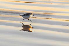 "fat-birds: "" Sanderling on the Run by Mike Forsman, broken camera :-( on Flickr. """