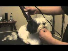 Shih Tzu Grooming - Topknot / Pet Grooming Studio - YouTube