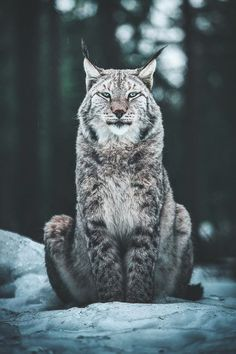 Animals And Pets, Baby Animals, Cute Animals, Wild Animals, Beautiful Creatures, Animals Beautiful, Big Cats, Cute Cats, Illustrator Tutorials