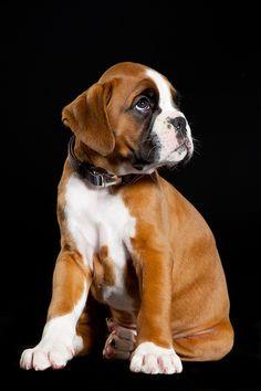 """""""Boxer puppy"""" by Heidi Glisborg"""