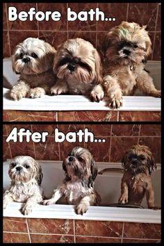 Shih Tzu bath time