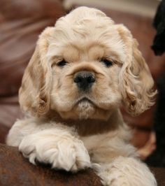 OMG . Sweet Cocker Spaniel  Puppy