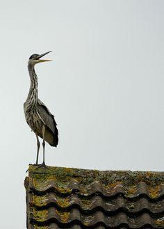 Rooftop Heron