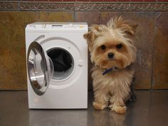 How cute is this Yorkie ?! And with his own dryer! ;)