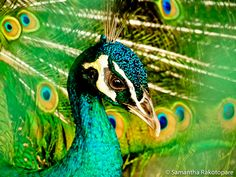Peacock by ~kitty974 on deviantART