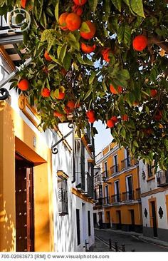 Orange trees on the streets of Seville, Spain