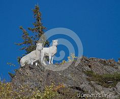A female and baby Dall Sheep check out the sights on the other side of a cliff face.