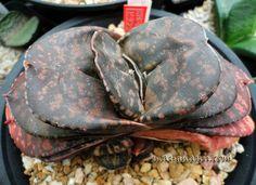 Gasteria hybrid ' Hong Wa' 红蛙 ('Red Frog'), pillansi X 'Kyoryuu'