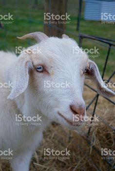 Kiko Goat (Rare New Zealand Breed) royalty-free stock photo Kiko Goats, Agriculture Photos, Goat Milk, Image Now, New Zealand, Royalty Free Stock Photos, Portraits, Animals, Animales