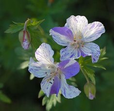 Hardy Geranium 'Splish Splash' meadow cranesbill Plants4Less http://www.amazon.co.uk/dp/B008QD3P28/ref=cm_sw_r_pi_dp_0EVAvb1J9WKK7
