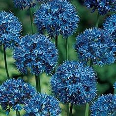 """Azure Allium Sensational Blue Spheres For each offer ordered, get 10 bulbs.Price:Each - $8.99.Hundreds of flax blue florets form perfect spheres 3-4 in. across. Blooms in early summer  for 2 - 3 weeks on imposing 18- to 22-in. stems. Lasts for weeks in the garden or vase. Grows anywhere in shade or sun! Height: 18 - 22 inchesSpa cing: 2 - 4 inches Depth: 3 inches deep and 2 - 4 inches apart. Spread: 4 - 6"""""""