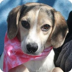 Garfield Heights, OH - Beagle. Meet Tootsie, a dog for adoption. http://www.adoptapet.com/pet/12711501-garfield-heights-ohio-beagle