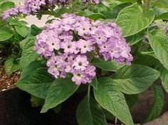 Heliotropium arborescens - Not native * Height: 1.00 to 1.50 feet * Spread: 1.00 to 1.50 feet  * Seasonal bloomer * Full sun to part shade * Water: Medium * Tolerate: Deer