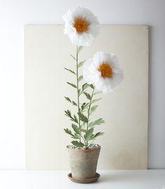 Image of Matilija Poppy Plant