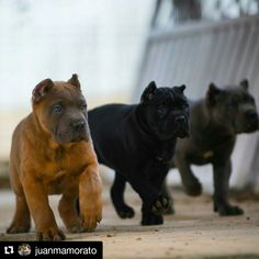Ideas dogs and puppies breeds cane corso Chien Cane Corso, Cane Corso Dog, Cane Corso Puppies, Cane Corso Italian Mastiff, Italian Mastiff Puppies, Cane Corso Mastiff, Cute Puppies, Cute Dogs, Dogs And Puppies