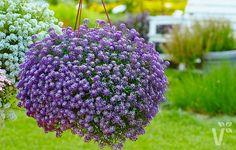 'Lucia Lavender' macht mit ihrem tollen süßlichen, honigähnlichen Duft ihrem Namen alle Ehre! Diese besondere Duftsteinrich-Sorte (Lobularia) wächst mit ca. 15 cm recht niedrig, aber kräftig und schön buschig. Bildet wahre Blüten- und Duftwolken in zarten Lavendertönen von Juni bis September! Super geeignet für Beeteinfassungen, Steingärten und gemischt für Kübel und Ampeln.