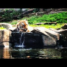 Tiger - Bronx Zoo