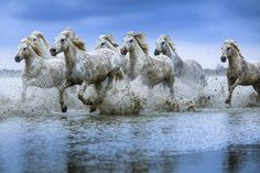 Horses-Grace and Beauty - Jim Zuckerman Photography - White horses of the Camargue, Provence, France